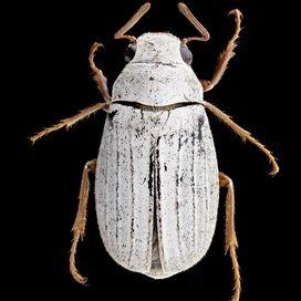 Cyphochilus Crataceus