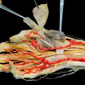Anatomy human hand