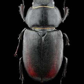 Lucanus cervus F vue Dorsale-47-focus